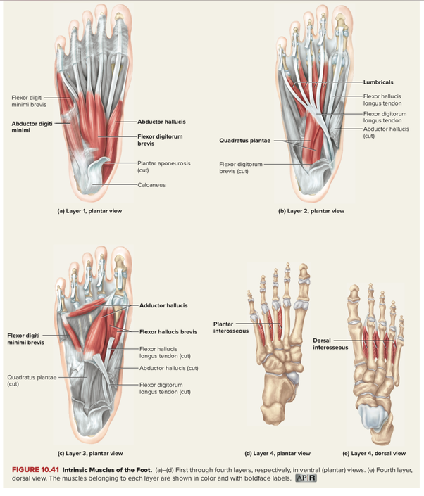 What Are The Muscles Of The Foot Quora