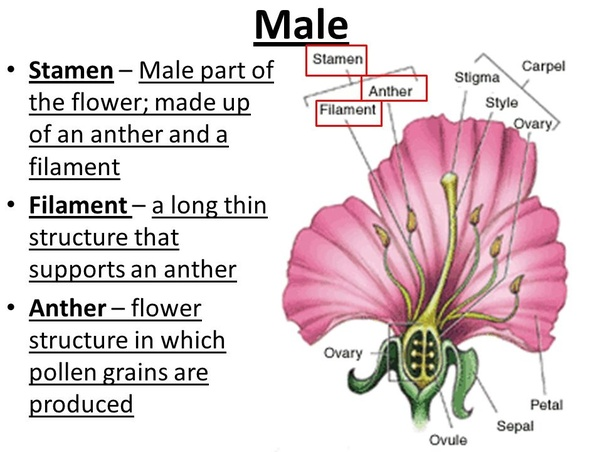 The stamen of a flower — the part that produces pollen — consists of a slender stalk, called a filament and an anther. The filament is a stalk-like ...
