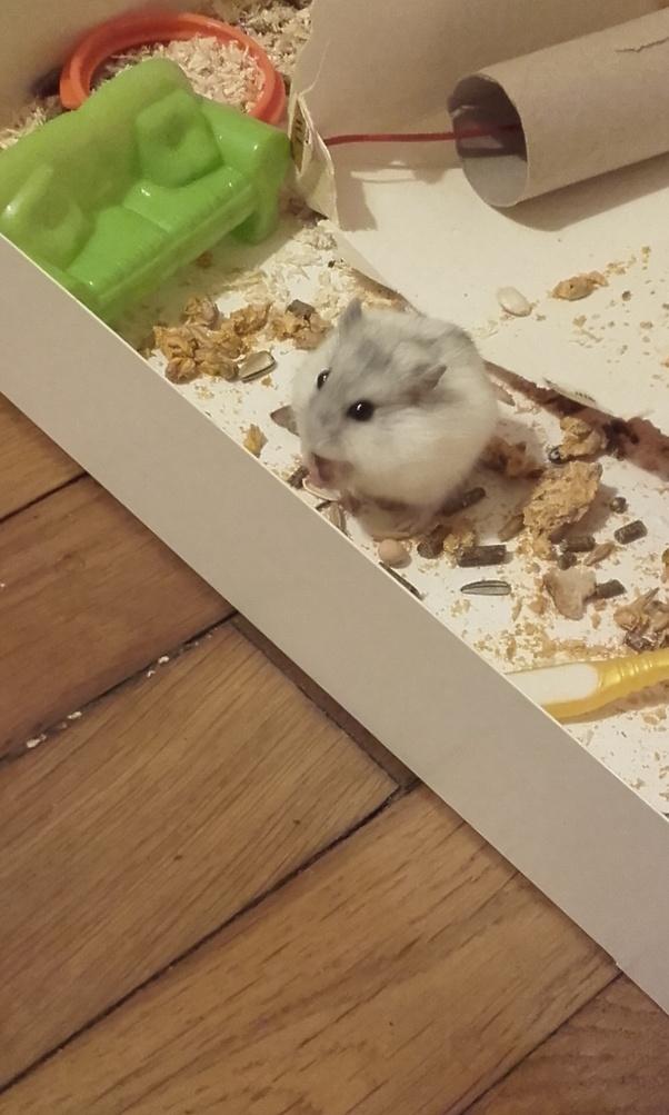 Should I buy a robo dwarf hamster or a Russian dwarf hamster