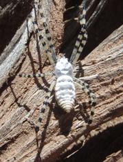 and leggs Spider striped body