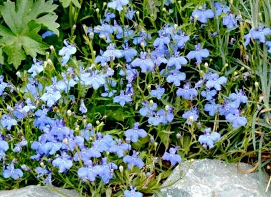 Soft Blue Flowers With Good Summer Performance And Low Maintenance Deer Resistant Attracts Erflies
