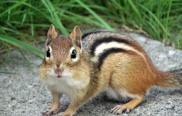 Chipmunk Squirrels