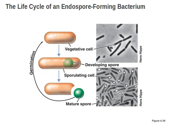 Proses Pembentukan Endospora Bakteri