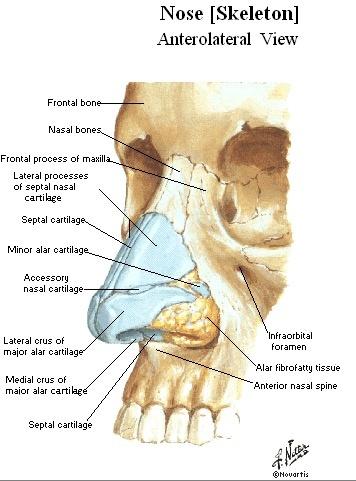 Diagram Of Bones In Nose Diagram Of Nose With Cold - Wiring Diagram ...
