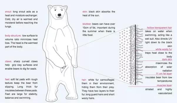main qimg 9034f0e3d00121a7b37ac76102607b7e what makes a polar bear's fur special? quora