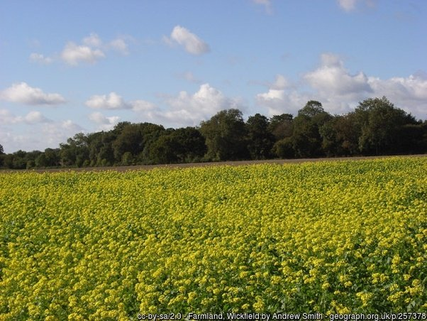 What are the yellow fields in the uk quora when i was a boy it would have been wild mustard or an artificial cultivar of it mightylinksfo
