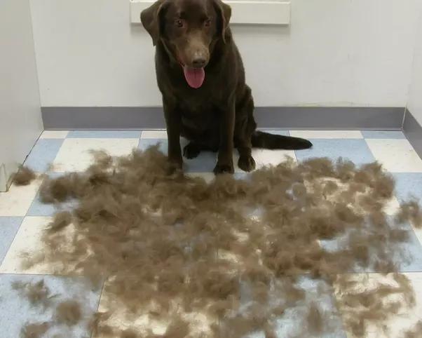 Do Labrador Retrievers Shed A Lot Quora