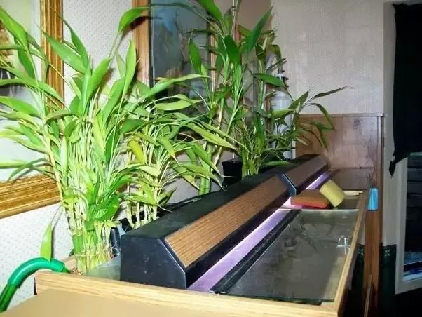 How To Grow A Lucky Bamboo In An Aquarium Quora