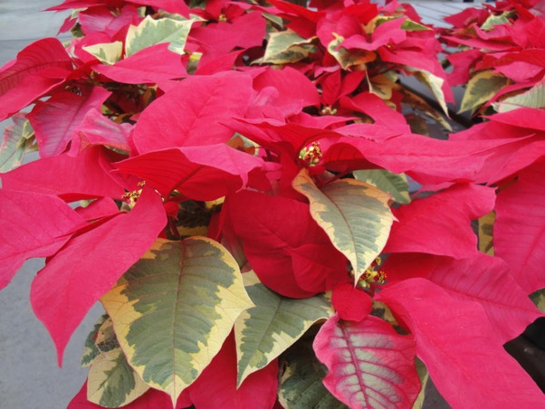 Why Do Poinsettia Leaves Turn Yellow Quora