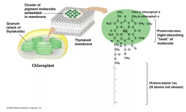 How do chlorophyll and chloroplast differ quora type of plastid in the cells of green plants specialized in photosynthesis chlorophyll is embedded in the thylakoid membranes inside the chloroplasts ccuart Image collections