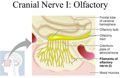 olfactory nerve