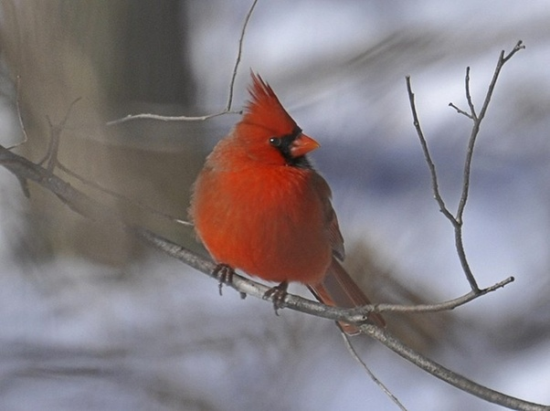 What does it mean when you see a cardinal? - Quora