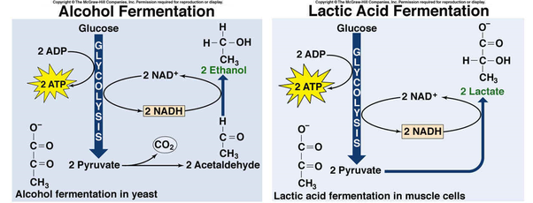 Why do cells need fermentation to continue glycolysis? - Quora