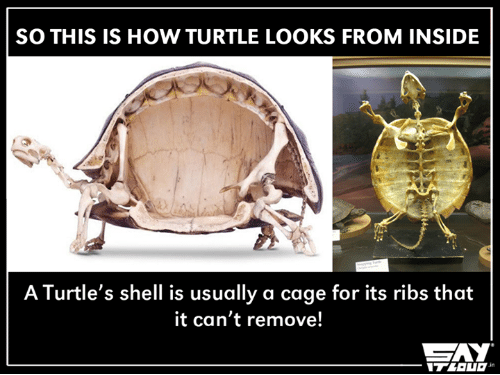 Can you remove a turtle from its shell without killing it