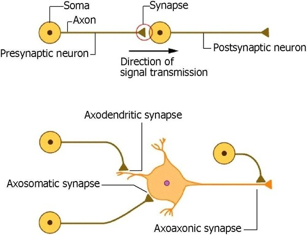 How do neurons communicate with each other quora there are different types of synapses categorized according to their locations between two neurons eg axoaxonic axodendritic and axosomatic ccuart Choice Image
