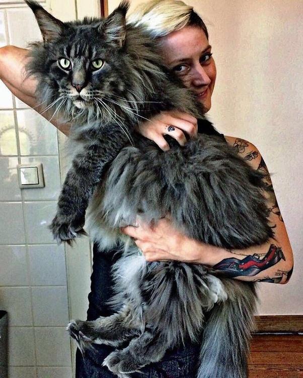 Maine Coon Cat Weight At 6 Months Best Cat Wallpaper