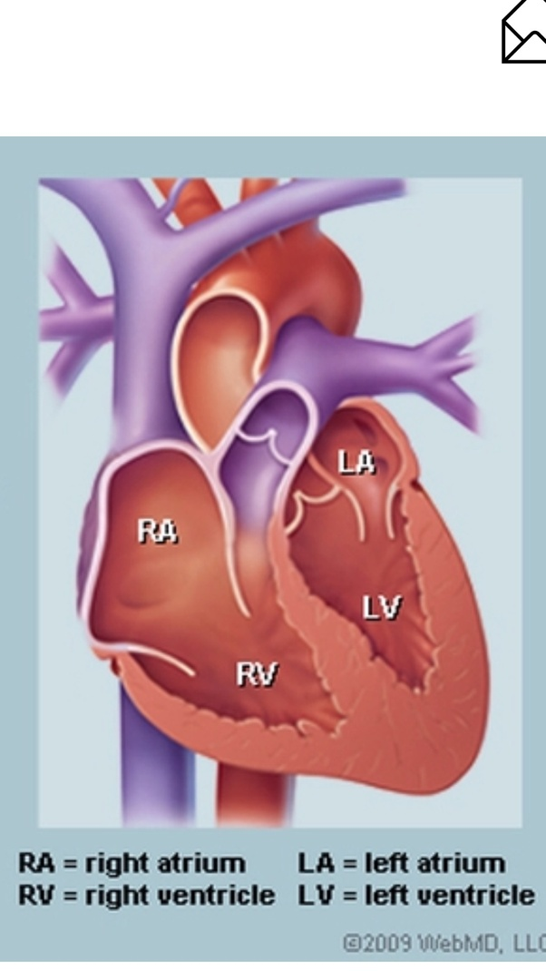How Many Sections Does The Human Heart Have Quora