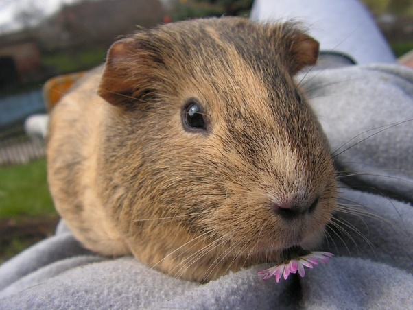 What are the mating habits of guinea pigs? - Quora