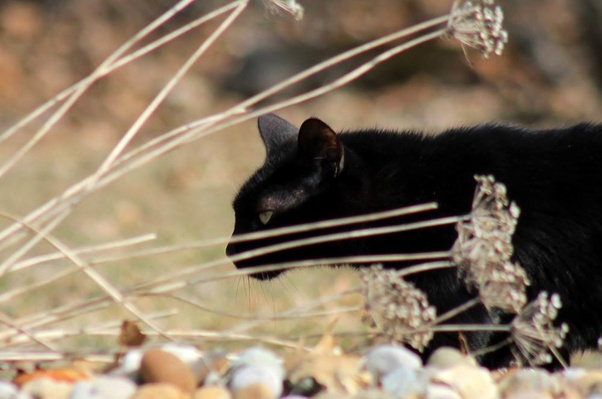 Superstitiously Speaking If A Black Cat Crossing Your Path Means