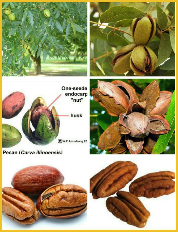 What are pekan nuts? - Quora