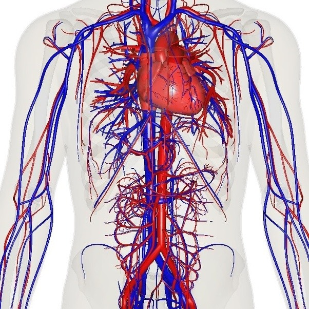 How does the cardiovascular system produce energy? - Quora