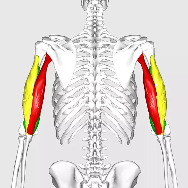 What is the anatomy of the tricep? - Quora