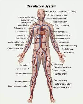 What Are The 11 Organ Systems We Have And What Are Their Functions