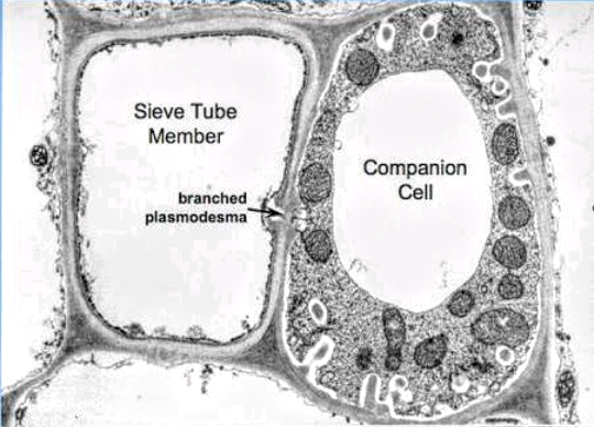 What is the function of a companion cell and a sieve plate