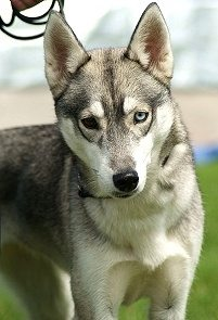Wjat Dog Breed Is Rare To Have Samw Colored Eyes