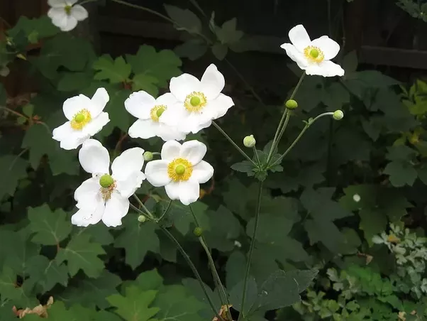 What is the name of this white flower that blooms in late summer what is the name of this white flower that blooms in late summer early fall quora mightylinksfo