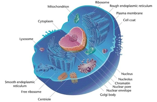 What Is An Animal Cell Quora