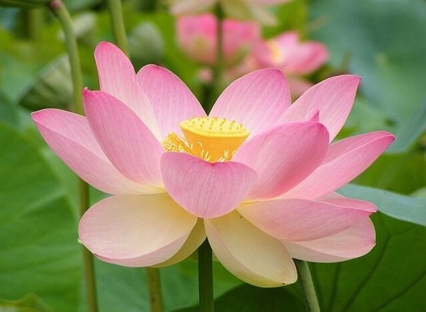 What is the point of having a national flower quora the lotus is found in different colours namely white red blue pink and purple and is found in many asian countries lotus flower mightylinksfo