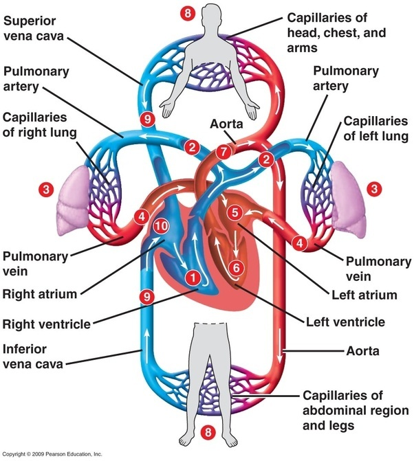 Heart And Arteries Diagram Radio Wiring Diagram