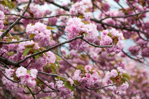 What Is The Difference Between A Cherry Blossom And Magnolia Quora