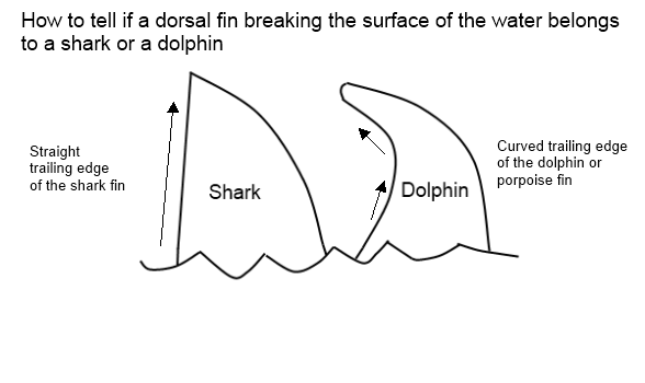 How To Tell The Difference Between A Dolphin Fin And A Shark Fin Quora