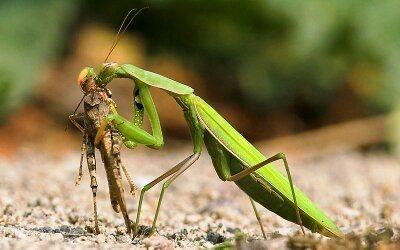 Praying mantis sexually dimorphic