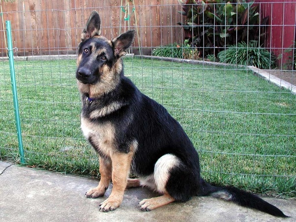 5 Month Old German Shepherd