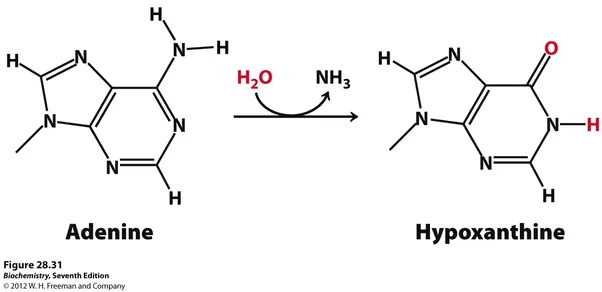 If Adenine pairs with guanine, and thymine with cytosine, how do mutations arise and become stable?