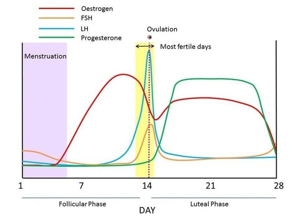 What Hormone Is Highest At Ovulation - Quora-6949