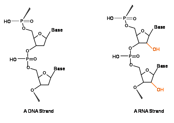 For which characteristics is a single stranded dna called a dna why for which characteristics is a single stranded dna called a dna why not regard it as an rna ccuart Image collections
