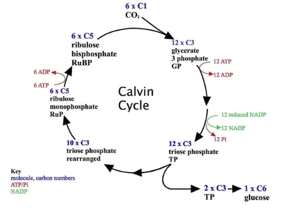 How Is The Calvin Cycle More Superior Than Glycolysis Quora