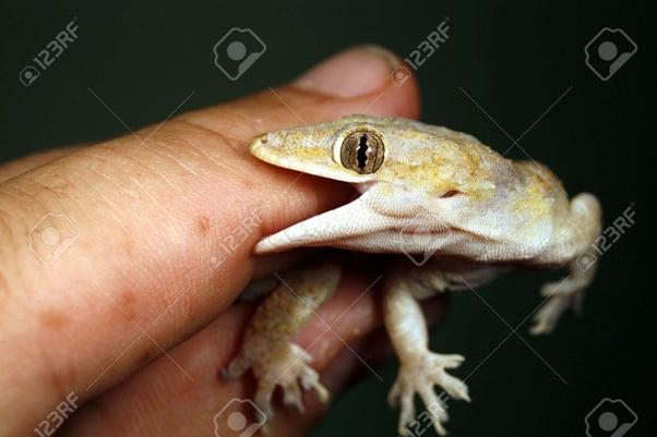 Do house lizards bite? How do you get rid of them? - Quora