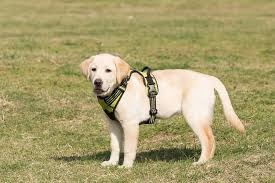 Where can I buy healthy Labradors or German Shepherds
