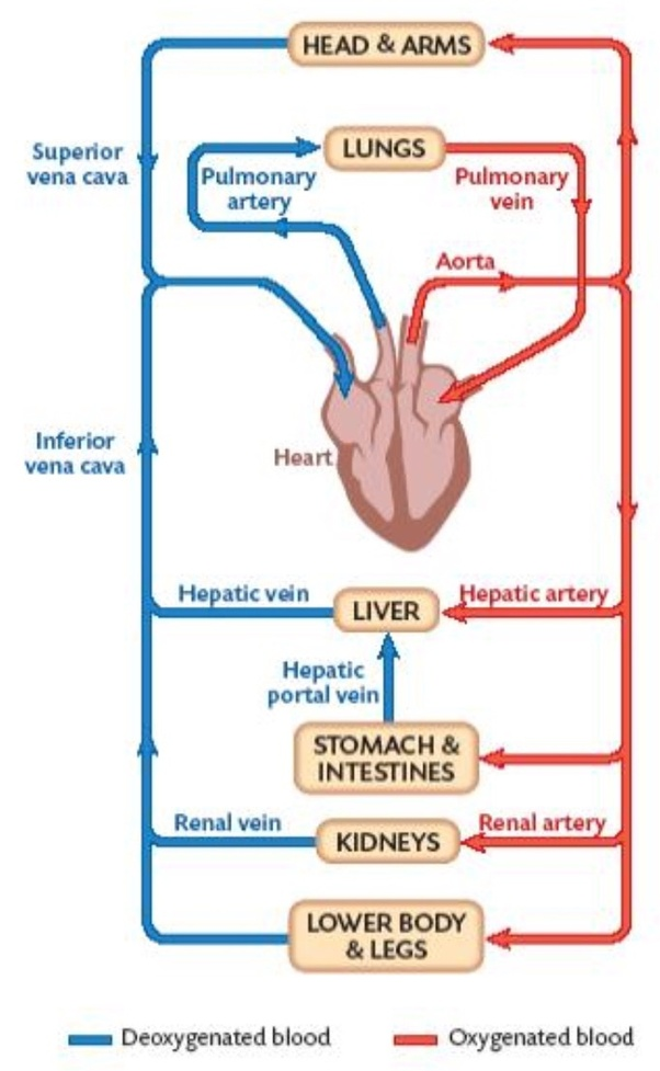 What is the only artery that carries blood with no oxygen ...