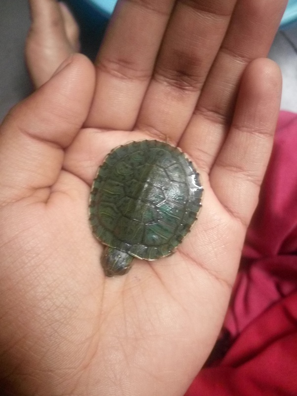 How Long Can Small Turtles Go Without Food Or Water Quora