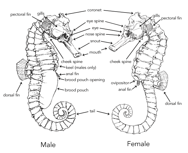 what is the difference from a female and male seahorse