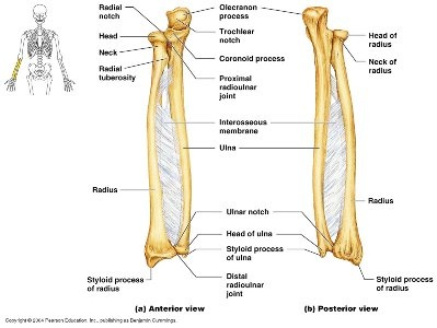 how to differentiate the ulna and the radius bones in a ... labeled diagram of the ulna