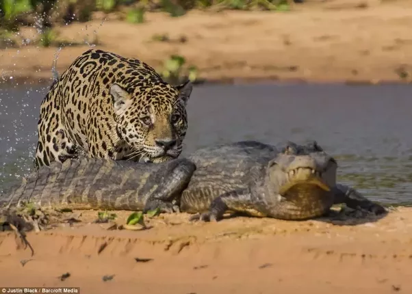 Nice Caimans, Despite Being Powerful Predators, Are Vulnerable To Jaguar  Attacks, Or Rather Jaguar Predation, For Indeed The Cats Regularly Prey On  The ...
