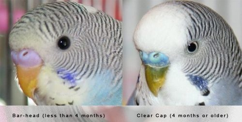 Birds: How do I distinguish if a parakeet is male or female