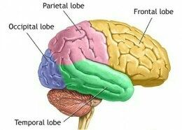 What are the five lobes of the brain? What function does ...